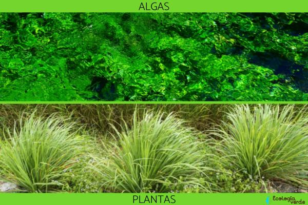 ¿Las algas son plantas? - Por qué las algas no son plantas