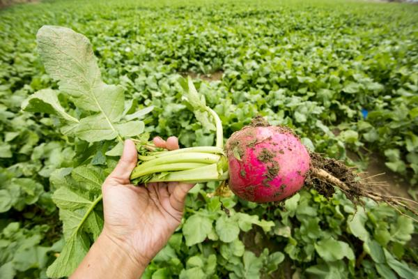 Rábanos: cómo sembrar y cultivar - Cuándo cosechar rábanos