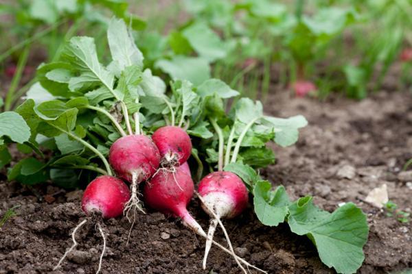 Rábanos: cómo sembrar y cultivar
