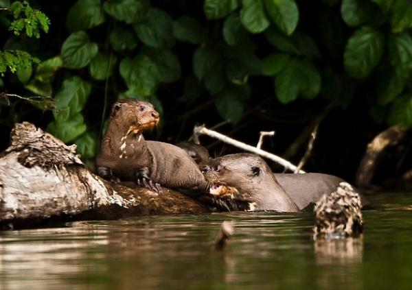 Animales en peligro de extinción en América Latina - Nutria gigante