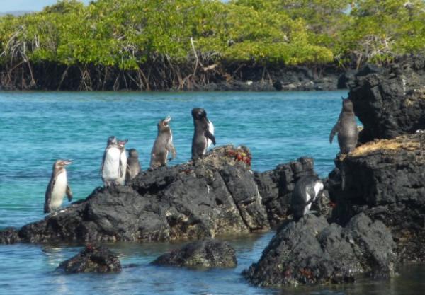 Animales en peligro de extinción en América Latina - Pingüino de las Galápagos