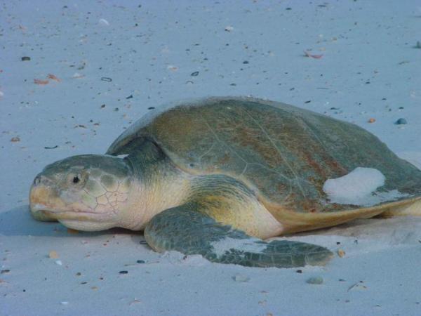 Animales en peligro de extinción en América Latina - Tortuga lora