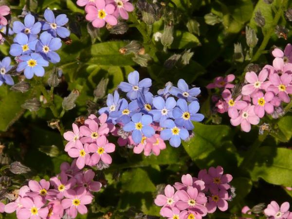 Cuidados de la planta nomeolvides - Características de la planta nomeolvides