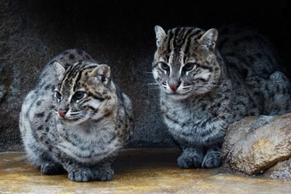 +10 animales japoneses - Gato de Iriomote