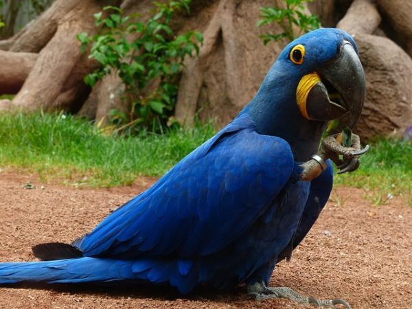 Animales en peligro de extinción en Paraguay - Guacamayo azul o Jacinto (Anodorhynchus hyacinthinus)