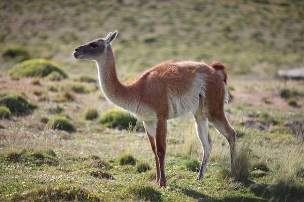 Animales en peligro de extinción en Paraguay - Guanaco (Lama guanicoe)