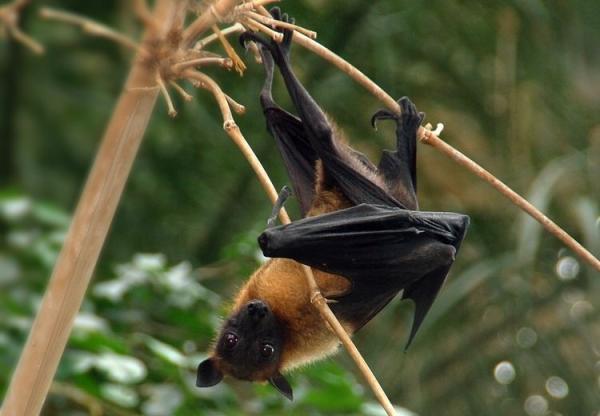 +10 animales japoneses - Murciélago de Ogasawara