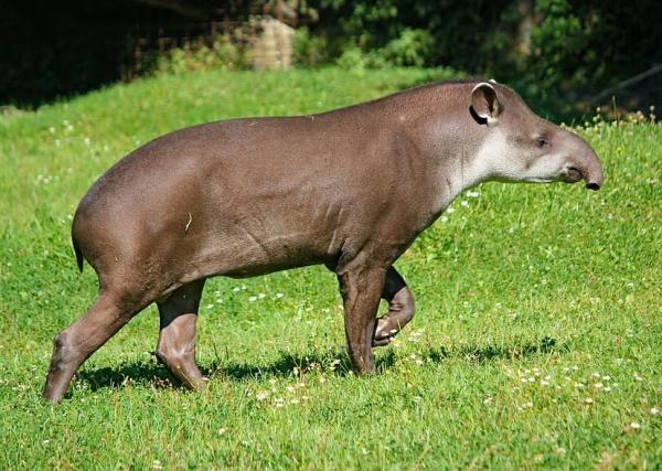 Animales en peligro de extinción en Paraguay - Tapir (Tapirus terrestris)