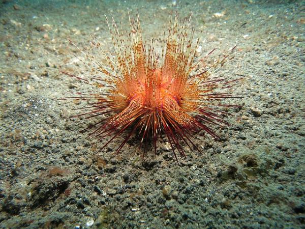 14 animales sin cerebro: lista y fotos - Erizos de mar