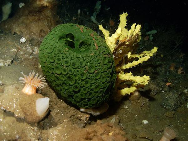 14 animales sin cerebro: lista y fotos - Esponjas marinas