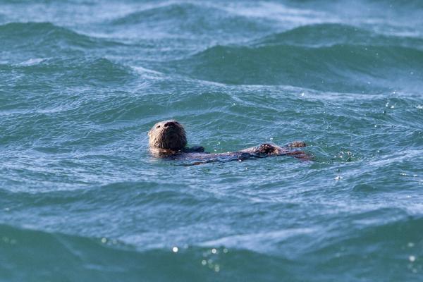 20 animales en peligro de extinción del Perú - Chungungo o gato de mar