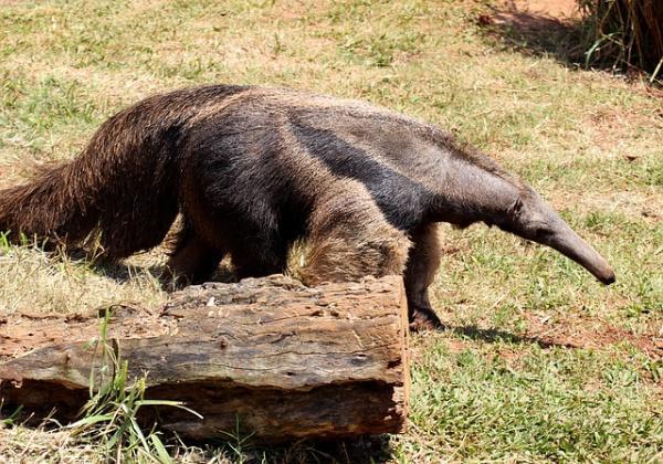 20 animales en peligro de extinción del Perú - Oso hormiguero gigante
