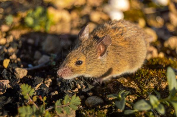 20 animales en peligro de extinción del Perú - Ratón de las lomas