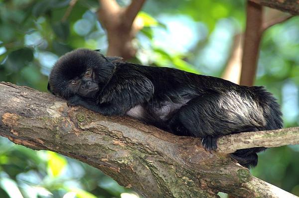 20 animales en peligro de extinción del Perú - Tamarino de Goeldi