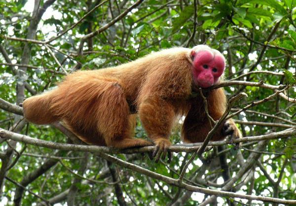20 animales en peligro de extinción del Perú - Uakari o cacajao calvo