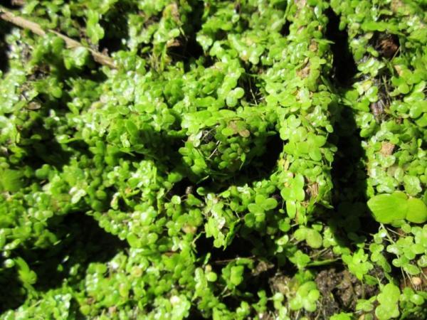 Plantas briófitas: ejemplos y características - Ejemplos de plantas briófitas