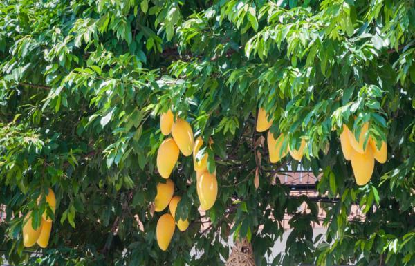 Tipos de árboles - Tipos de árboles frutales