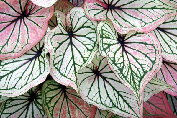 Plantas con hojas de colores - Caladium o ala de ángel