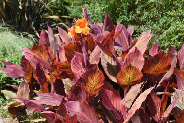 Plantas con hojas de colores - Canna indica o caña de Indias