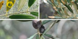 Enfermedades del olivo