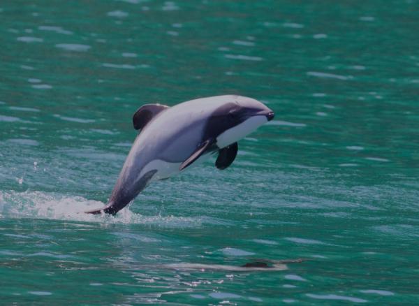 Animales en peligro de extinción en Oceanía - Delfín de Héctor