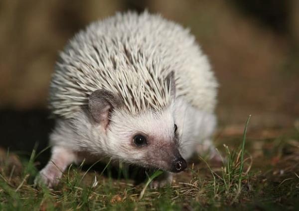 16 mamíferos venenosos - Erizos: mamíferos con púas con toxinas venenosas