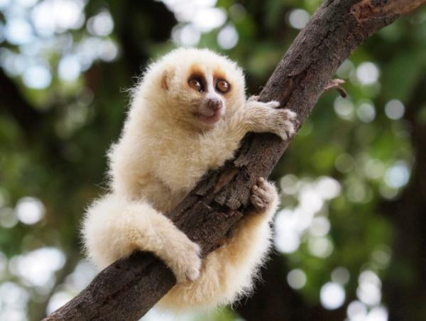 16 mamíferos venenosos - Loris perezosos: unos de los mamíferos venenosos más conocidos