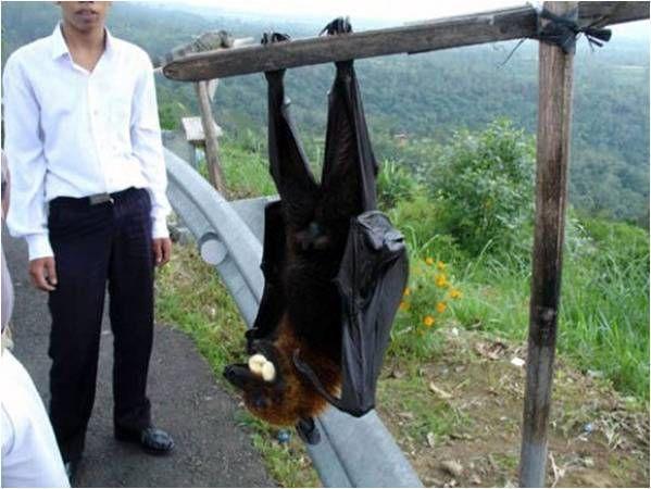Animales en peligro de extinción en Oceanía - Murciélago de la fruta de Bulme