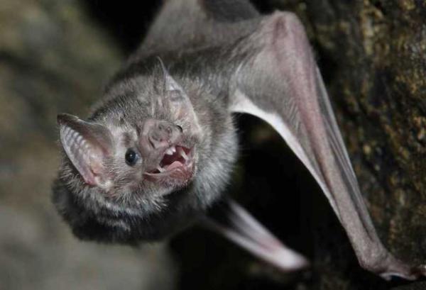 16 mamíferos venenosos - Murciélagos vampiro: mamíferos venenosos y voladores