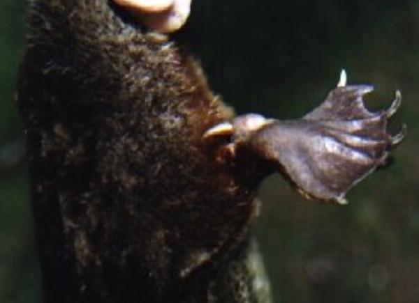 16 mamíferos venenosos - Ornitorrinco: el mamífero más venenoso