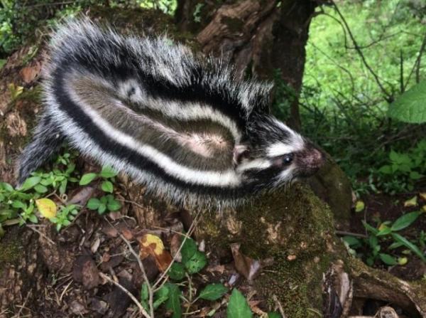 16 mamíferos venenosos - Rata africana de crin: un mamífero con pelo venenoso