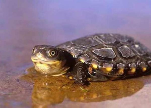 Animales en peligro de extinción en Oceanía - Tortuga del pantano occidental
