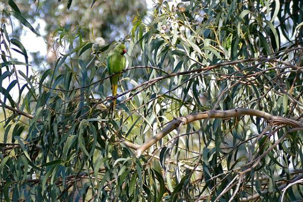 Especies invasoras en Argentina - Eucalipto (Eucalyptus globulus)