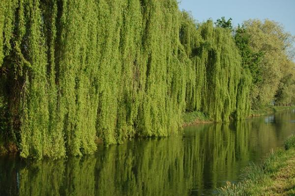 Especies invasoras en Argentina - Sauce llorón (Salix babylonica)
