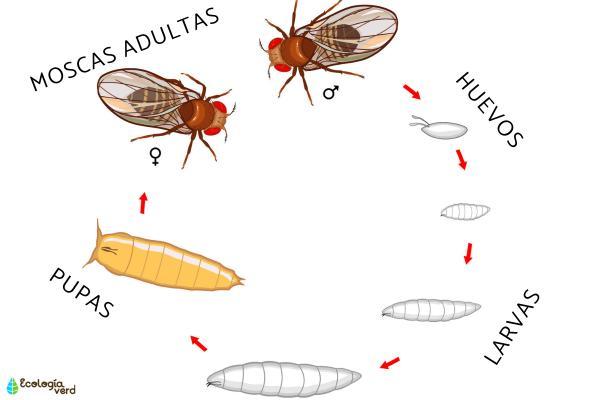 El ciclo de vida de las moscas - Cómo es el ciclo de vida de las moscas