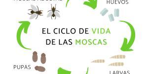 El ciclo de vida de las moscas