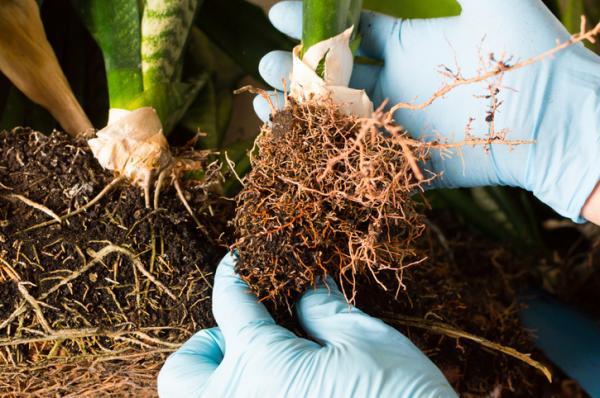 Usos del agua oxigenada en el jardín - Agua oxigenada para las raíces de las plantas