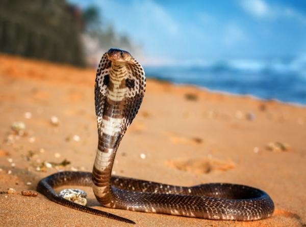 Tipos de reptiles, sus características y ejemplos - Cobra real