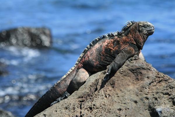 Tipos de reptiles, sus características y ejemplos -  Iguana marina