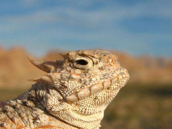 Tipos de reptiles, sus características y ejemplos - Lagarto cornudo