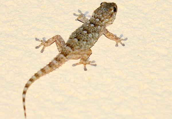 Tipos de reptiles, sus características y ejemplos - Salamanquesa común