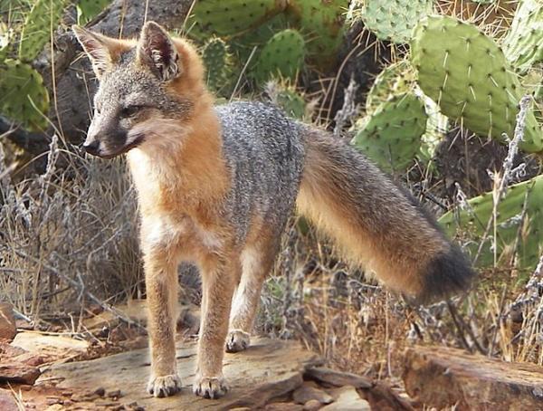 Animales en peligro de extinción en Estados Unidos - Zorro gris de las islas (Urocyon littoralis catalinae)