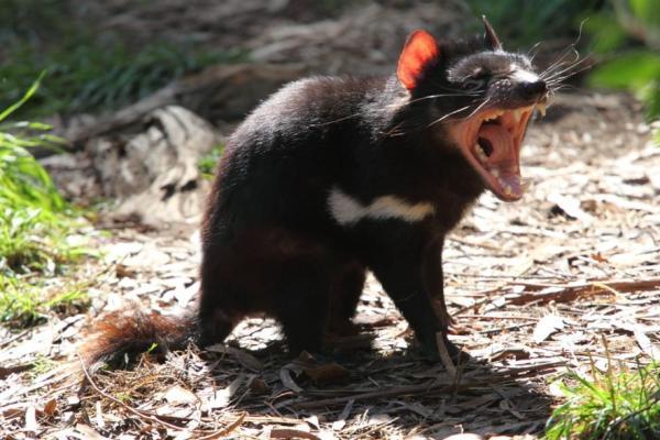 Animales en peligro de extinción en Australia - Demonio de Tasmania