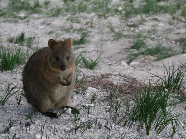 Animales en peligro de extinción en Australia - Quokka