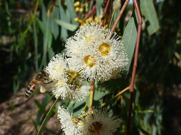 Tipos de eucalipto - Eucalyptus camaldulensis