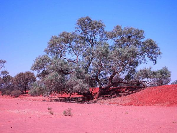 Tipos de eucalipto - Eucalyptus coolabah