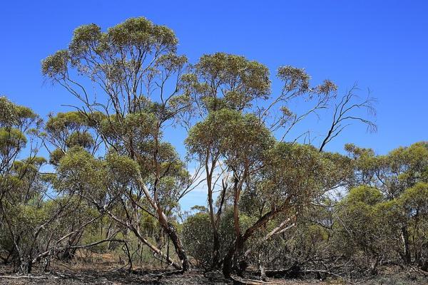 Tipos de eucalipto - Eucalyptus dumosa
