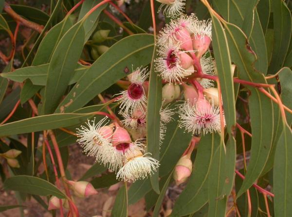 Tipos de eucalipto - Eucalyptus leucoxylon