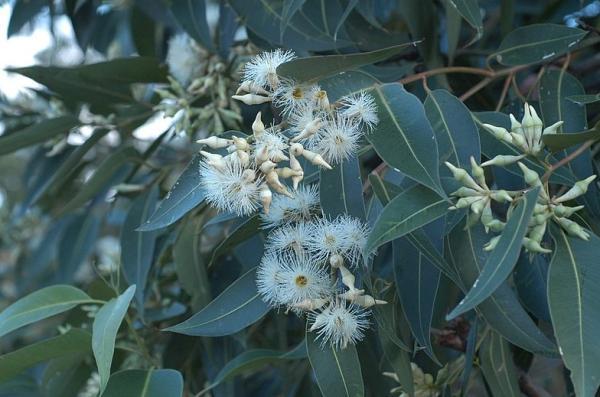 Tipos de eucalipto - Eucalyptus robusta