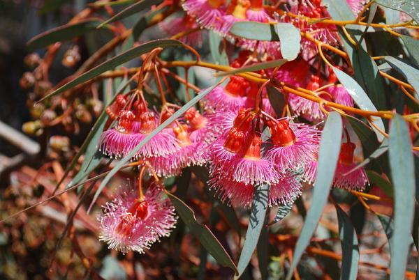 Tipos de eucalipto - Eucalyptus torquata